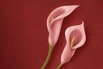 Pink Calla Lily Thumbnail